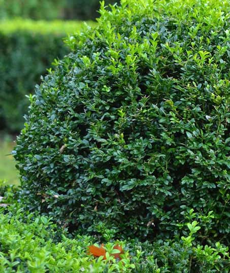Golden Willow Landscaping Inc. Shrubs & Hedges